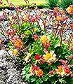 """Geum """"Mango"""",3 Knollen von Baldur-Garten - Du und dein Garten"""