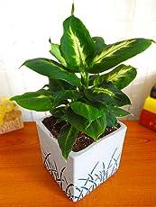 Rolling Nature Dieffenbachia Camilla Plant In White Cube Aroez Ceramic Pot