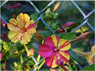 5x Mirabilis jalapa Wunderblume Samen Pflanze Garten Nachtblume #394