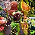 nulala 50 piezas Nepenthes semillas de plantas, Nepenthes plantas carnívoras Comer Mosquito Insectos Jardín Flores Bonsai (se
