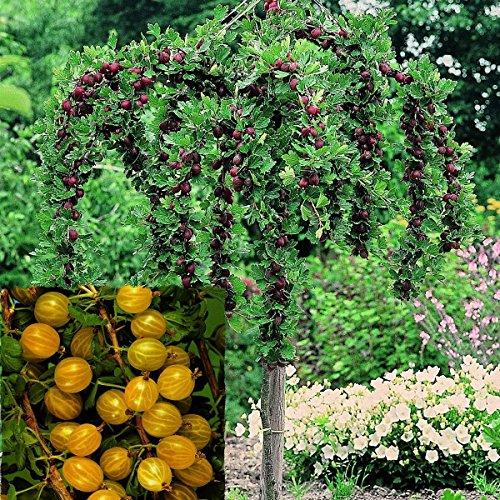 Stachelbeer-Stamm Hinnonmäki gelb, 1 Pflanze
