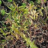 Euphorbia palustris 'Teichlaterne' (Sumpf-Wolfsmilch) im 9 cm Topf