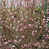 Duft-Winterschneeball rosa blühend