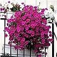 50pcs / bag que cuelga las semillas de la petunia, balcón potted que arrastra las semillas de la flor de la petunia