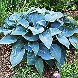 Hosta Planta decorativa Plantas bulbos Plantas vivas Jardin plantas 1x Rizoma Hosta azul Halcyon