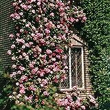 Rose Grimpante Coral Dawn - 1 rose