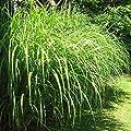 Miscanthus sinensis Silberfeder von Meingartenshop bei Du und dein Garten