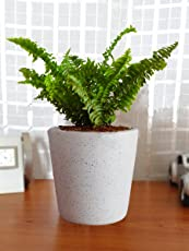 Rolling Nature Air Purifying Live Green Fern Plant in White Bucket Dew Ceramic Pot