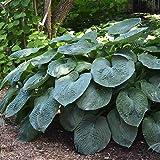 Hosta Planta decorativa natural Bulbos primavera Plantas de exterior 1x Rizoma Hosta gigante Elegans