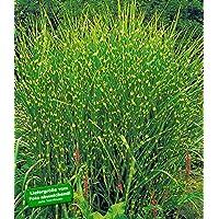 BALDUR-Garten Chinaschilf Zebragras, 3 Pflanzen Miscanthus zebrinus strictus