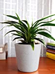Rolling Nature Air Purifying Spider Plant in White Dew Bucket Ceramic Pot