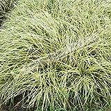Forniture 5/20 / 50Seed / Lot Carex Comans Seed Frosted Riccioli Seed Nano Erba ornamentale Tussock pianta giardino bonsai