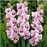 Gladiolus Primulinus Gladioli /'Byzantinus/' Quality Summer Bulbs Pack x10