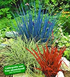 BALDUR-Garten Winterhart Ziergras Farb-Mischung, 3 Pflanzen Imperata cylindica, Festuca glauca, Carex ashimens Ziergräser