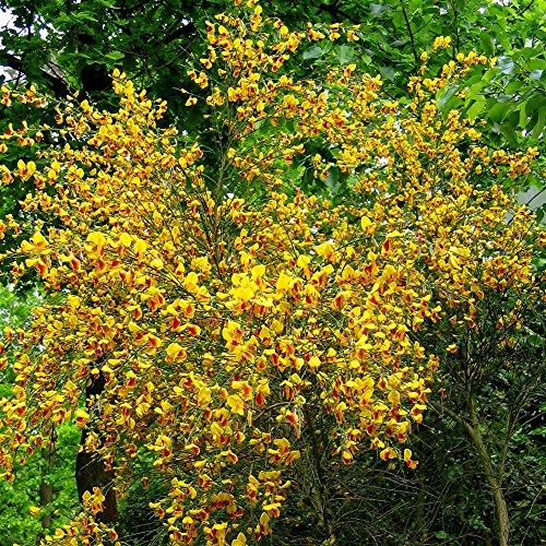 Cytisus jaune - 1 arbrisseau