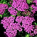 Schafgarbe ( Achillea ' Tutti Frutti PINK GRAPEFRUIT ') von Lichtnelke Pflanzenversand bei Du und dein Garten