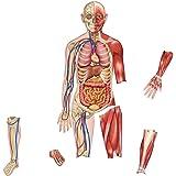 Learning Resources Dubbelsidig magnetisk människokroppen
