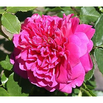 Rose Princess Anne (im grossen Container) - Kräftig entwickelte Pflanze im 6lt-Topf