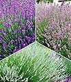 BALDUR-Garten Winterharte Stauden Lavendel-Sortiment blau, rosa, weiß, 9 Pflanzen Lavandula von Baldur-Garten bei Du und dein Garten