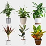 All Occasions Indoor Plants Real, Mix of 6 House Plants in 12cm Pots, Real Plants to Grow in Your Office, Home, Bedroom…