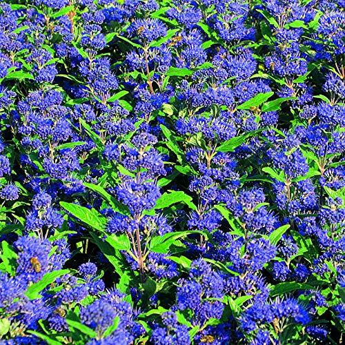 Qulista Samenhaus - Rarität Bartblume clandonensis 'Summer Sorbet' hellblau reichblühend, Bonsai Blumensamen Saatgut Mischung winterhart mehrjährig für Balkon Garten