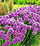 BALDUR-Garten Duft-Allium-Staude