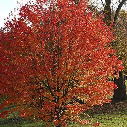 acer-freemanii-celebration-maple-poted-tree-80-100cm-tall