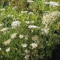 lichtnelke - Wilde Möhre ( Daucus carota ) von Lichtnelke Pflanzenversand bei Du und dein Garten