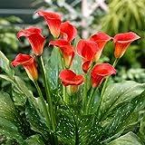 Semillas 100 semillas/pack calla semillas de flores raras para la plantación de jardín de su casa