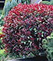 BALDUR-Garten Photinia-Hecke 'Red Robin', 1 Pflanze von Baldur-Garten bei Du und dein Garten