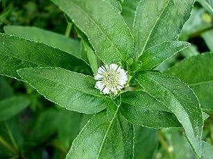 Raj Garden Plants Bhringraj Plant, Bhrungraj, Eclipta Alba (Bhringraj) Live Daisy Plant (Multicolour, RGP126)