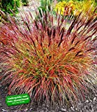 "BALDUR-GartenChinaschilf ""Red Chief"" 1 Pflanze Miscanthus sinensis winterhart"