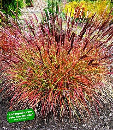 BALDUR-Garten Winterhart Chinaschilf