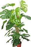 Indoor Plant -House or Office Plant -Monstera deliciosa - Swiss Cheese Plant Approx 80cms Tall
