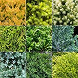 10 x Evergreen Conifer Collection Quality Mixed Ornamental Plants | 9cm Pots