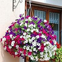 200 semi di petunia misti colorati copertura del terreno mattutino gloria fiorente appeso telaio fiore decorato per…