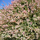 Salix integra 'Hakuro Nishiki' - Saule crevette - Saule Japonais panaché