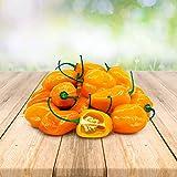 Habanero Orange 25 x Semillas de Portugal 100% Natural Sin Agente Químico ni OMG