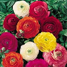 Going Greens Ranunculus Flower Bulbs Mix (Pack of 4 Bulbs)