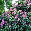 Rhododendron catawbiense Blau von Meingartenshop - Du und dein Garten
