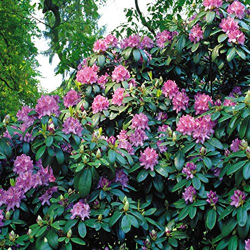 rhododendron-catawbiense-blue-1-shrub