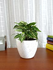 Rolling Nature Good Luck Air Purifying Live Green Syngonium Plant in White Round Dew Ceramic Pot