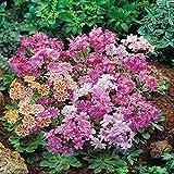 Lewisia cotyledon - 12 plantes