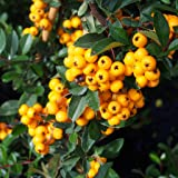 3 x Large Pyracantha Plants Red Coloumn Minimum delivered height 175cm 3L Pot