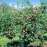 Dominik Blumen und Pflanzen, Apfelbaum, Apfel