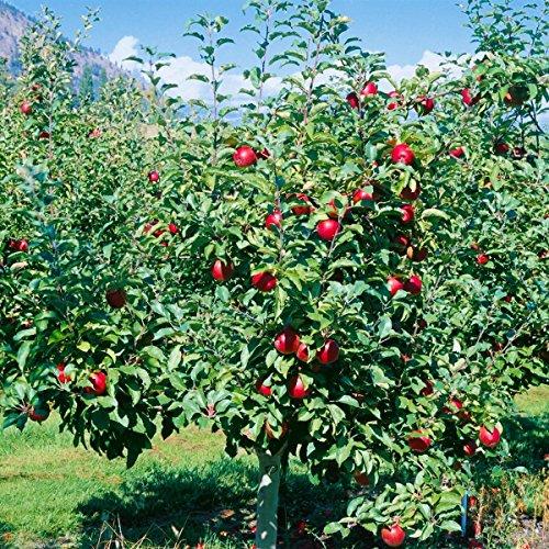 apfel-cox-orange-busch-1-pflanze