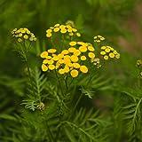 Semillas de Tanaceto 200 Semillas de Tanacetum Vulgare Flor Silvestre