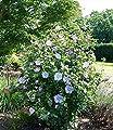 BALDUR-Garten Winterhart Gefüllter Hibiskus Chiffon blau 1 Pflanze Hibiscus syriacus von Baldur-Garten auf Du und dein Garten