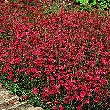 Heidenelke - 15 pflanzen