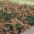 Geißblatt zweifarbig von Meingartenshop - Du und dein Garten
